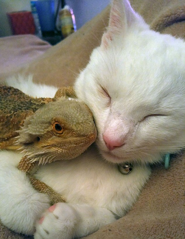 bearded-dragon-cat-friendship-sleep-together-charles-baby-30