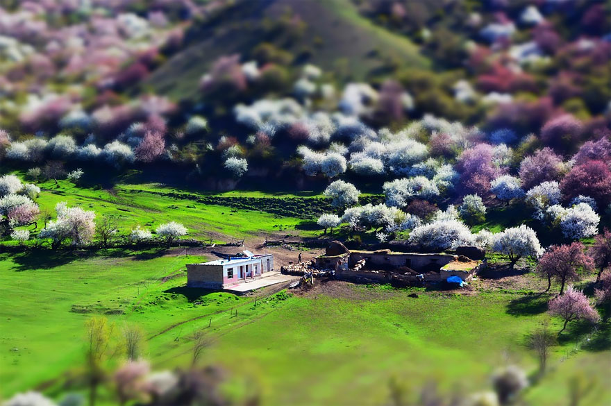blooming-apricot-valley-yili-china-19