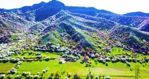 blooming-apricot-valley-yili-china-20