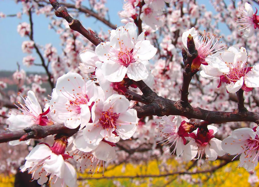 blooming-apricot-valley-yili-china-28