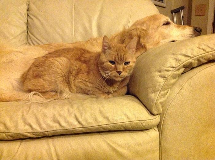 dog-cat-friends-golden-retriever-forsberg-maxwell-5