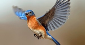 40-beautiful-pictures-of-bluebirds-12