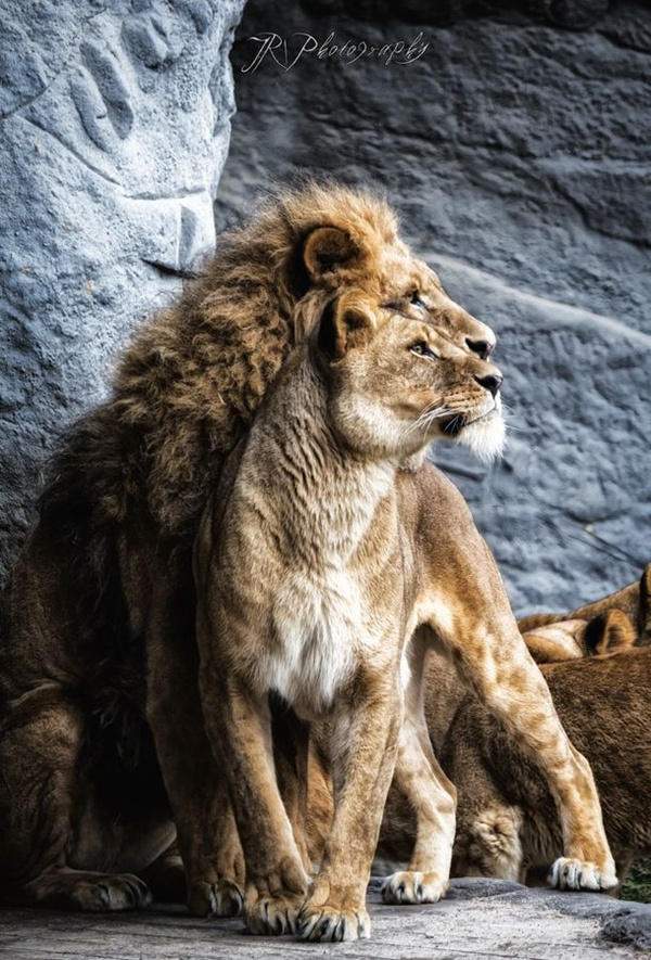 lion-and-lioness-10