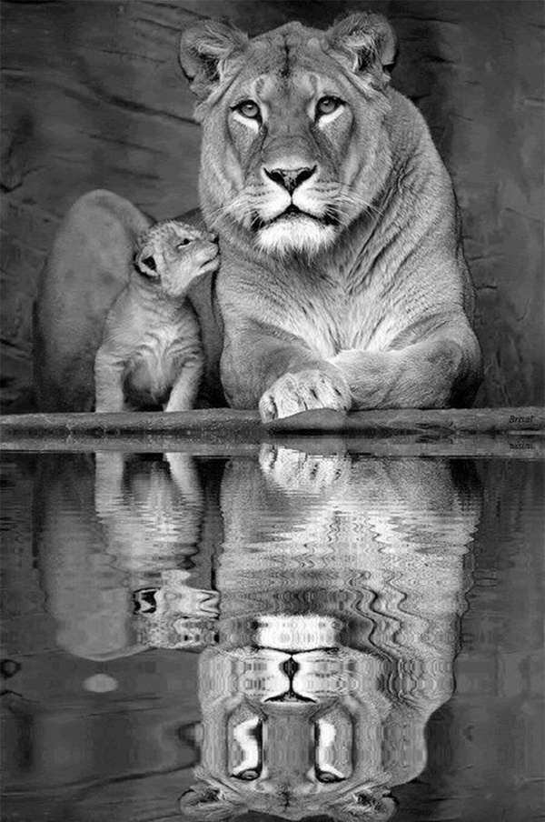 lion-and-lioness-11