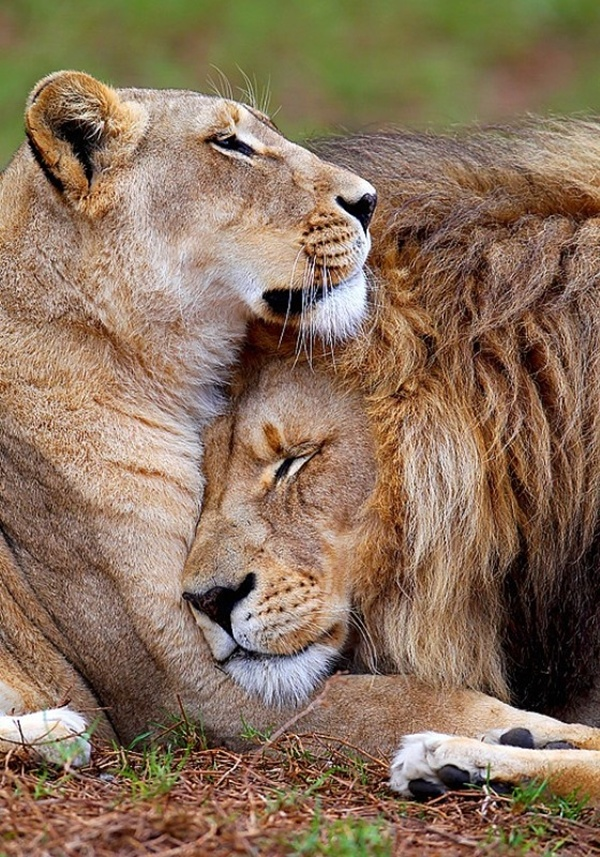 lion-and-lioness-13