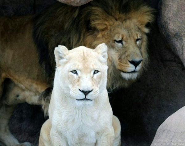 lion-and-lioness-14