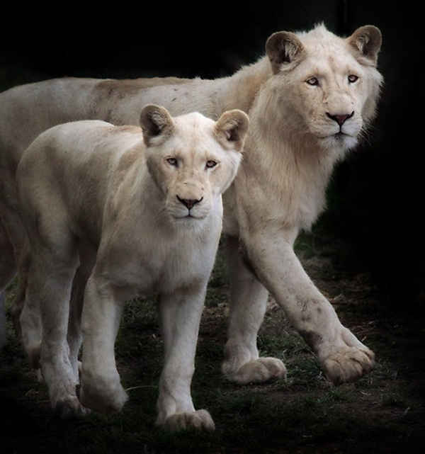 lion-and-lioness-15