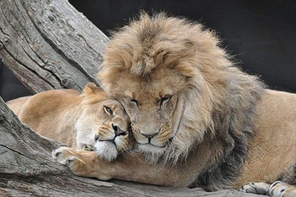 lion-and-lioness-18