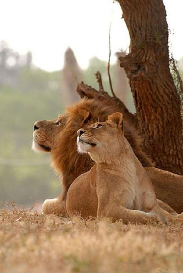 lion-and-lioness-2