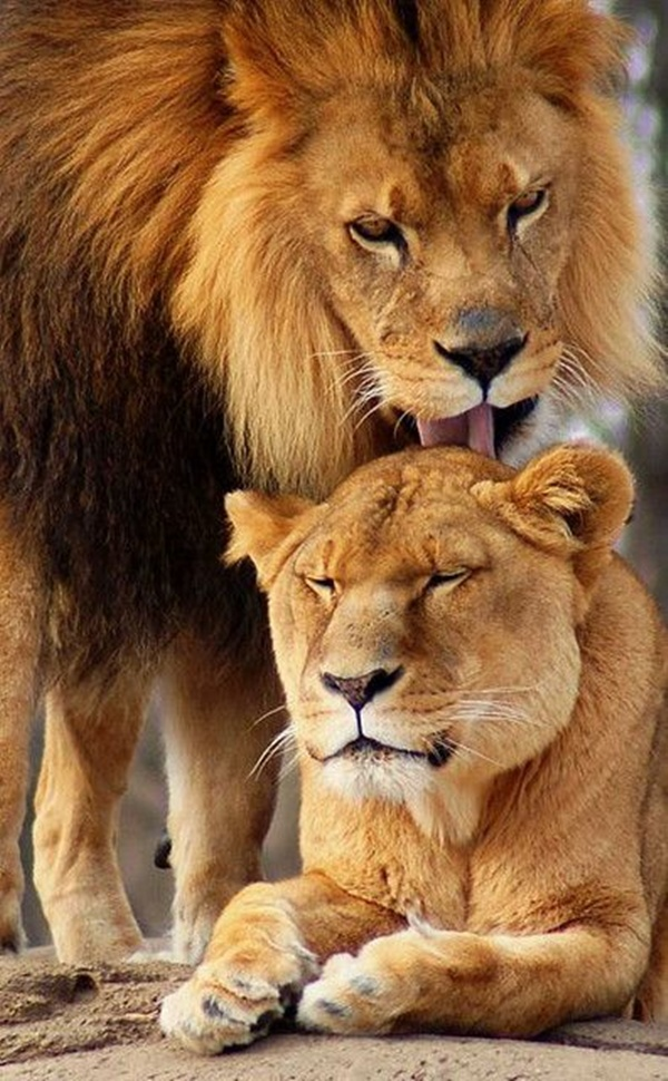 lion-and-lioness-5