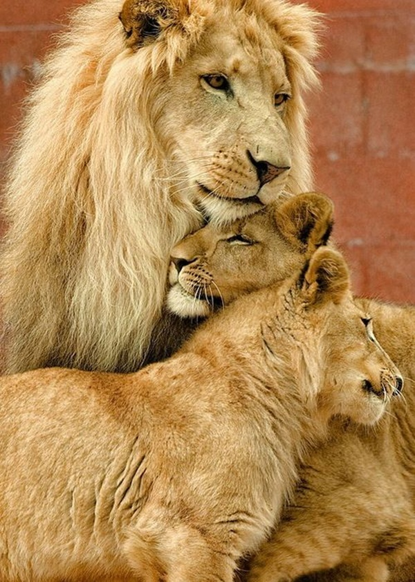 lion-and-lioness-6