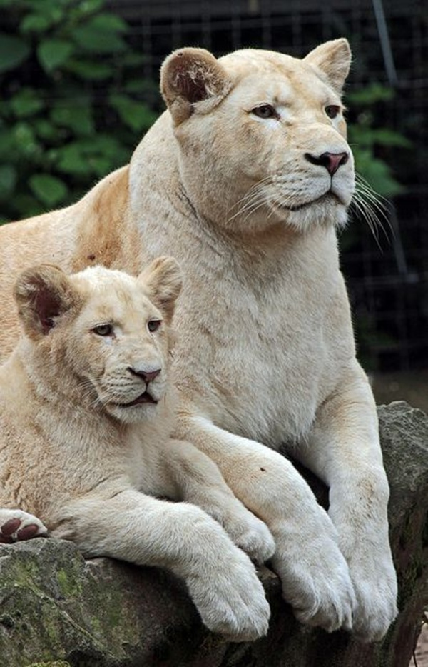 lion-and-lioness-7