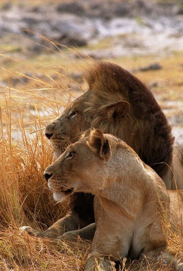 lion-and-lioness1