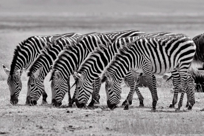 25-zebras-black-and-white-photography-by-tim-allen.preview