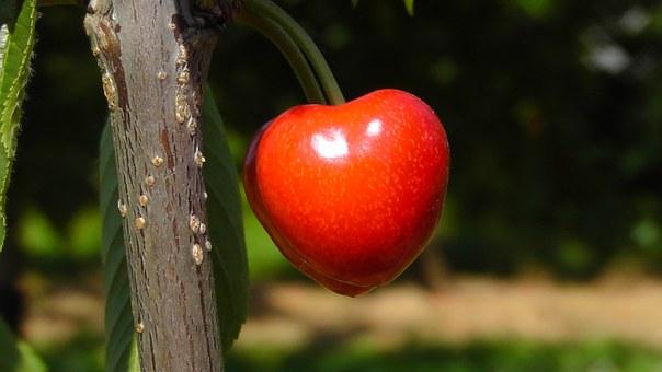 cherry-178149__340
