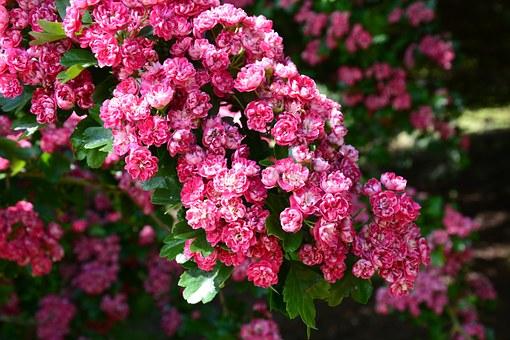 cherry-blossom-210692__340