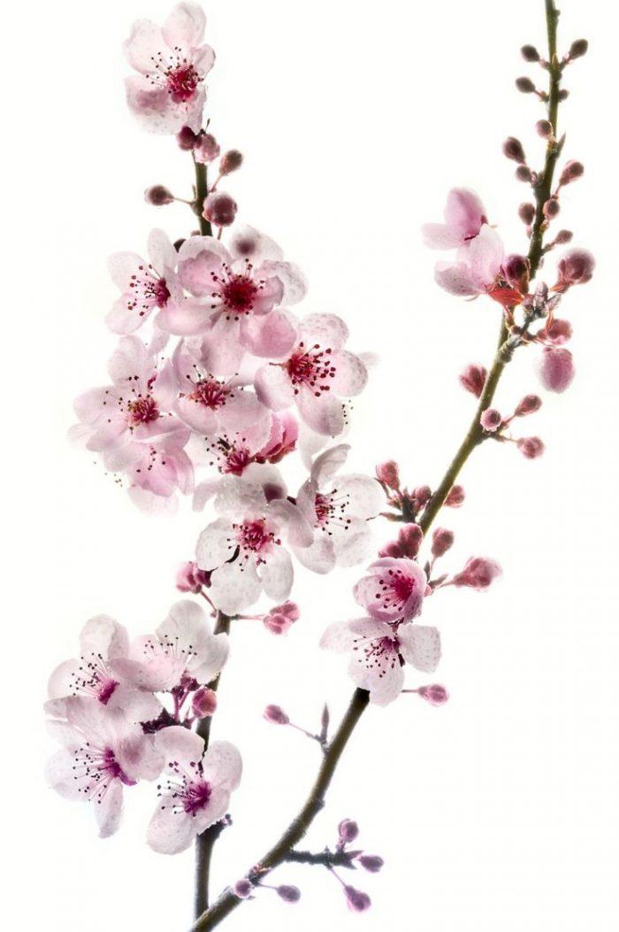 cherry-blossom-700x1053