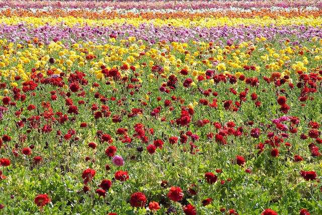 flower-fields_blog131210