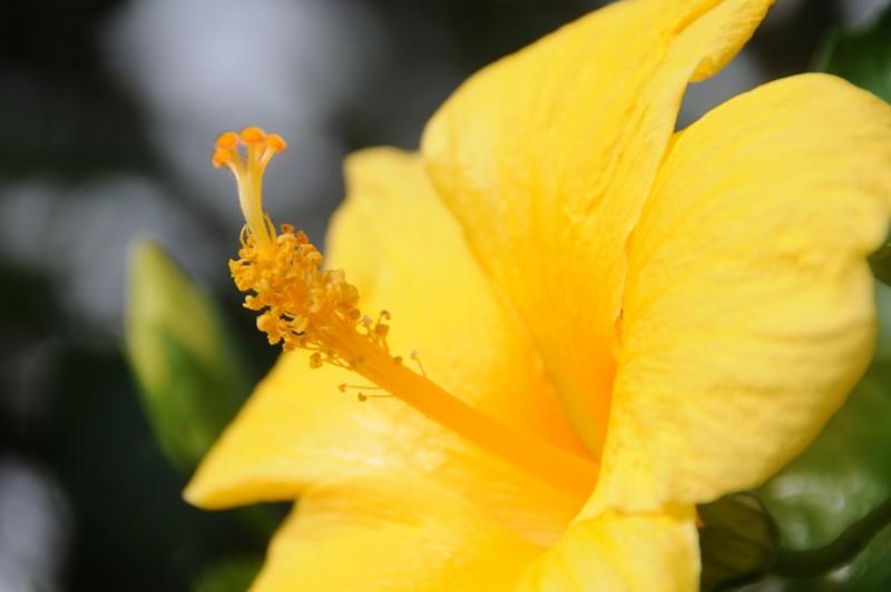 hibiscus 2_blog131210