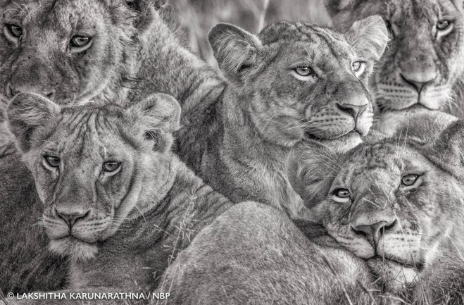 1-lioness-natures-best-award-winning-photography-by-lakshitha-karunarathna.preview