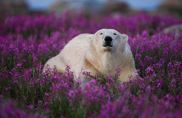 polar-bear-pictures-1
