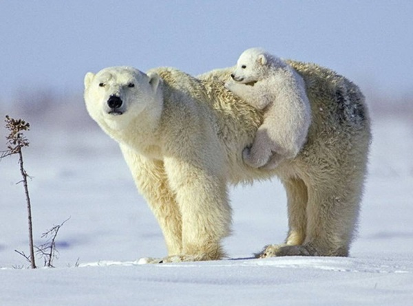 polar-bear-pictures-10
