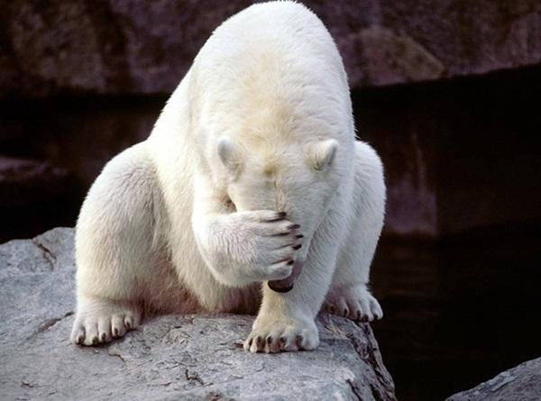 polar-bear-pictures-11