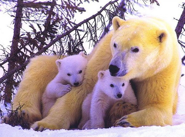 polar-bear-pictures-12