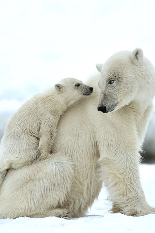 polar-bear-pictures-13