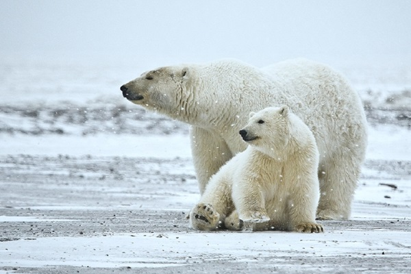 polar-bear-pictures-14