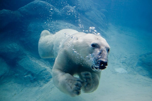 polar-bear-pictures-15