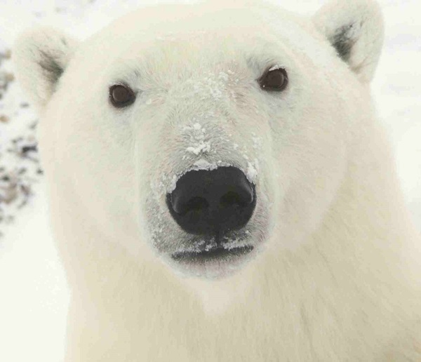 polar-bear-pictures-16