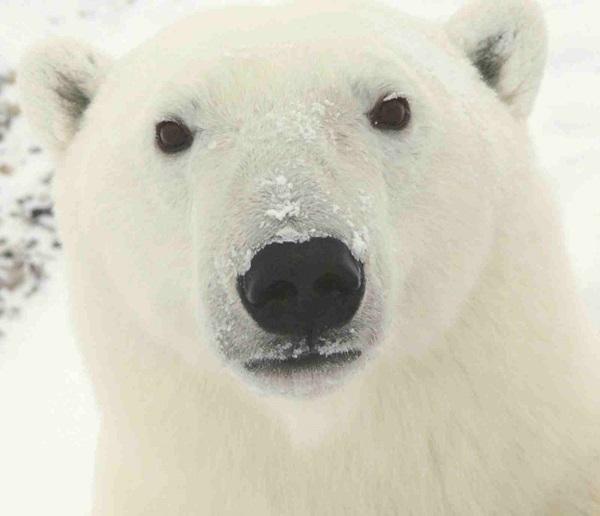 polar-bear-pictures-16