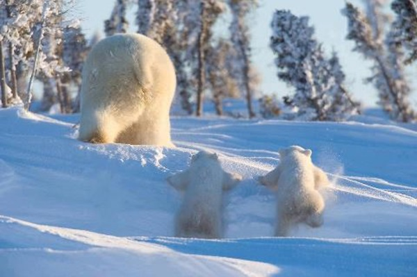 polar-bear-pictures-17