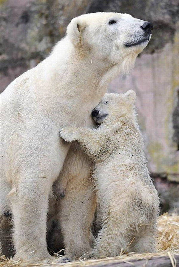 polar-bear-pictures-18