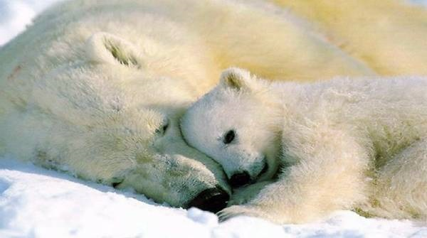 polar-bear-pictures-19