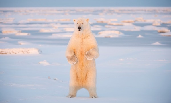 polar-bear-pictures-2