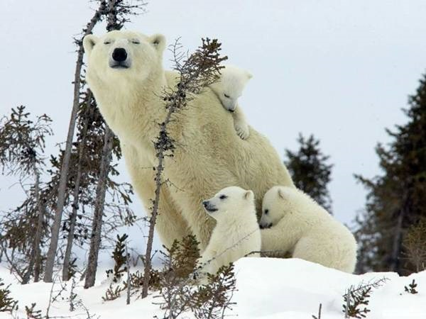 polar-bear-pictures-20