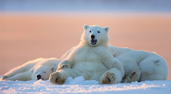 polar-bear-pictures-21