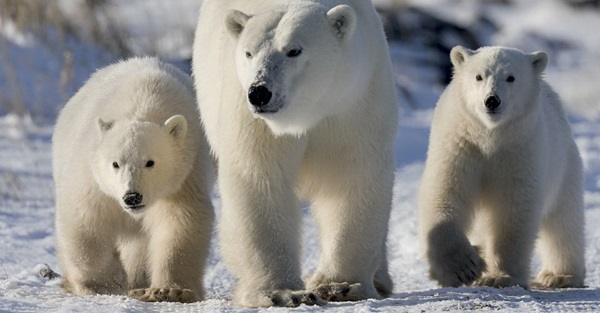 polar-bear-pictures-22
