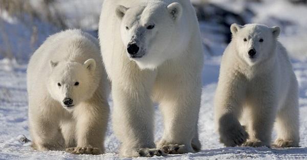 polar-bear-pictures-22