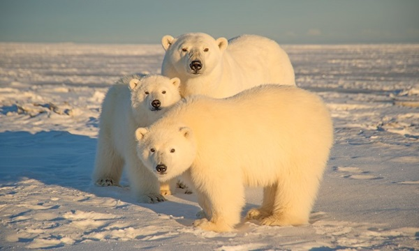 polar-bear-pictures-23