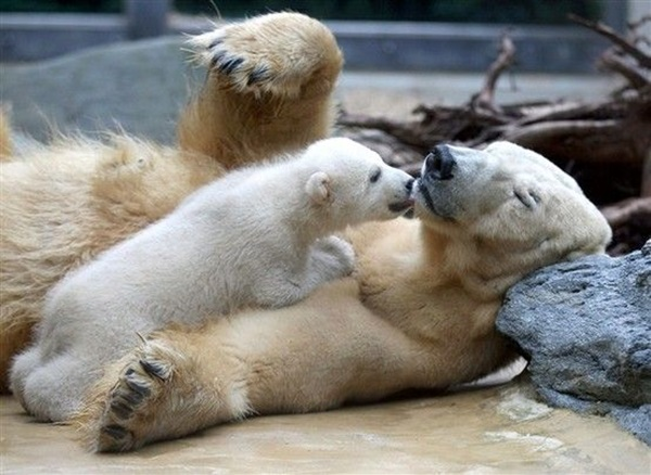 polar-bear-pictures-24