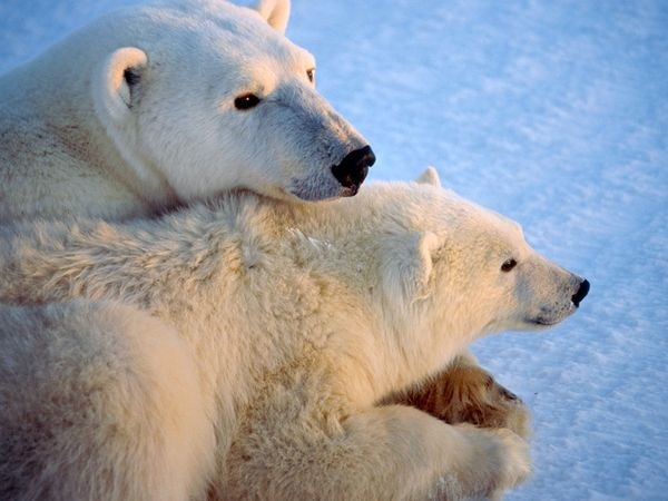 polar-bear-pictures-25