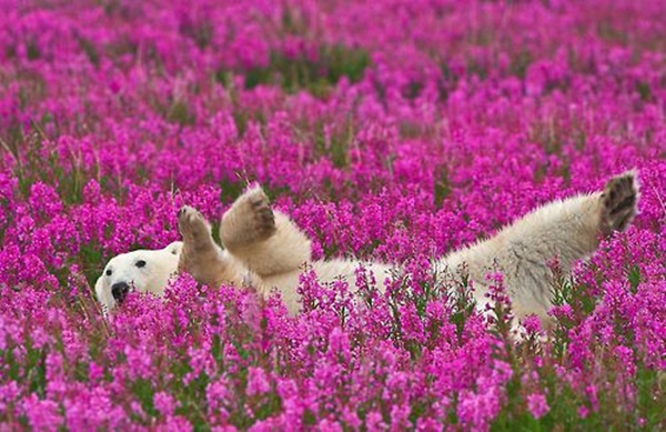 polar-bear-pictures-3