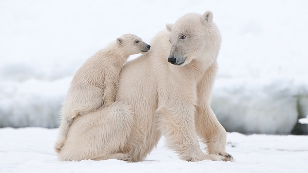 polar-bear-pictures-4