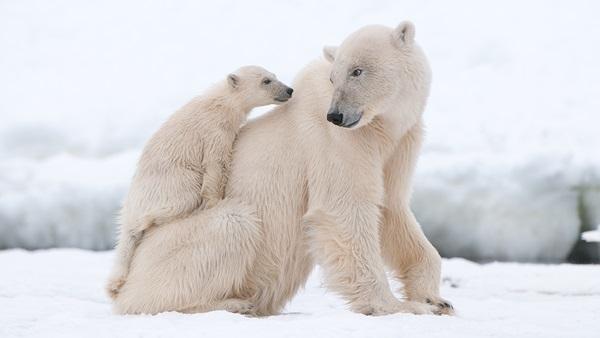 polar-bear-pictures-4