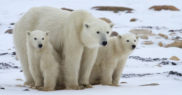 polar-bear-pictures-5