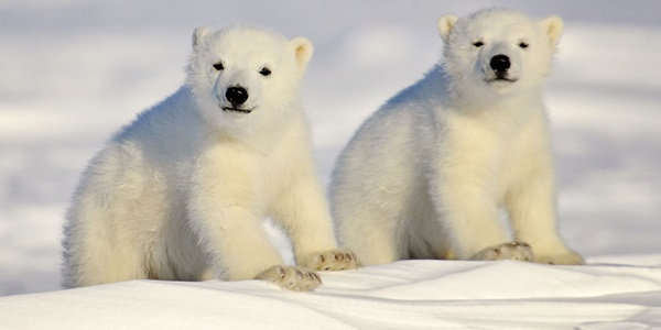 polar-bear-pictures-6