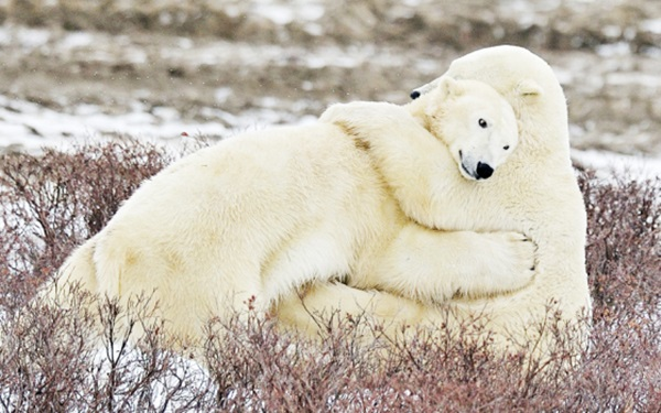 polar-bear-pictures-7